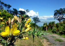 Yellow blossoms in front of a hiking path Stock Photos
