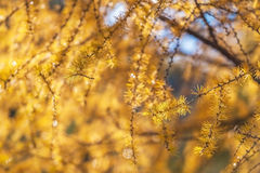 Yellow blossoms Royalty Free Stock Photography