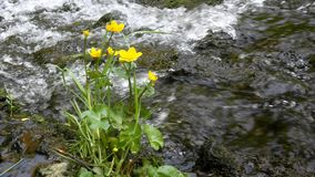 Yellow blossoms of gentle marsh marigold with fresh green leaves at cascade stock footage