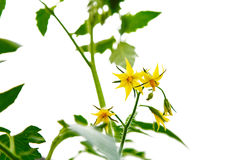 Yellow blossoms of tomatoes isolated Royalty Free Stock Images