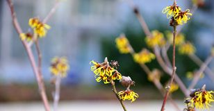 Yellow blossoms of a witch hazel. Close-up of twigs of a witch hazel with yellow blossoms stock photos