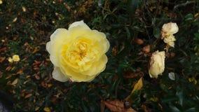 Yellow Blosson Stock Image