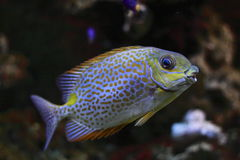 Yellow Blotch Rabbitfish Stock Image