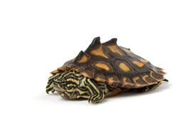 Yellow Blotched Map Turtle. (Graptemys flavimaculata) isolated on white background Royalty Free Stock Photo