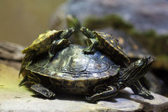 Yellow-blotched map turtle (Graptemys flavimaculata) Royalty Free Stock Photos