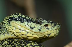 Yellow-blotched palm pitviper Royalty Free Stock Images
