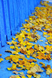 Yellow and blue. Vivid yellow leaves against blue wall background Royalty Free Stock Photos