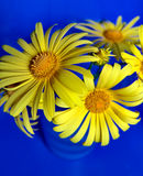 Yellow & Blue. Yellow daisy-like flowers (Doronicum) on blue background Royalty Free Stock Image