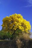 Yellow and blue. A tree with yellow flowers stock image