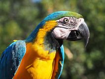 yellow and blue Ara parrot Royalty Free Stock Photos