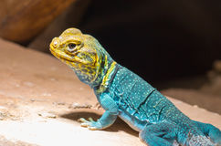 Yellow-blue Collared Lizard Stock Image