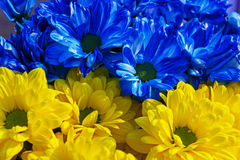 Yellow and blue daisies. A bouquet of yellow daisies and blue Royalty Free Stock Photos