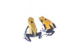 Yellow and blue dart poison frog Stock Image