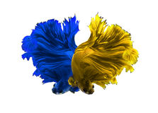 Yellow and Blue dragon siamese fighting fish, betta fish isolate Stock Photography