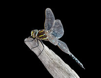 Yellow Blue Dragonfly resting on branch Stock Image