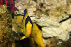 Yellow-blue fish. With prominent eyes Royalty Free Stock Image