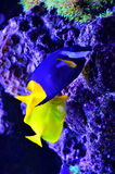 Yellow and blue fish float around algae and stones Stock Photography