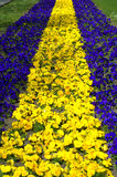 Yellow blue flower bed Stock Photos