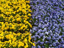 Yellow and blue flowers in Ōdōri Kōen Stock Images
