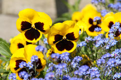 Yellow and blue flowers Royalty Free Stock Image