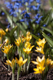 Yellow and blue flowers. Yellow (crocus) and blue flowers Royalty Free Stock Photo