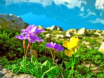 Yellow and blue flowers on the mountain background Royalty Free Stock Photos