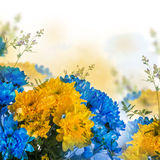 Yellow and blue fresh chrysanthemum Royalty Free Stock Photography