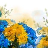 Yellow and blue fresh chrysanthemum Royalty Free Stock Photography
