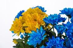 Yellow and blue fresh chrysanthemum Stock Photo