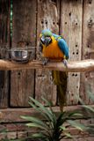 Yellow, Blue and Green Parrot Royalty Free Stock Image