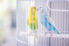 Yellow and blue parrots. Yellow and blue kissing parrots in a white cage stock photos