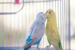 Yellow and blue parrots. Yellow and blue kissing parrots in a white cage royalty free stock images