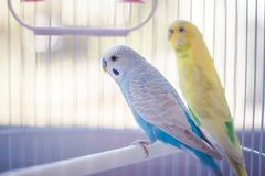 Yellow and blue parrots. Yellow and blue kissing parrots in a white cage stock images