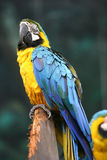 Yellow Blue Macaw. A wild macaw stock photos
