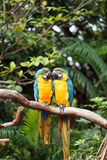 A pair of lovebirds Stock Photography