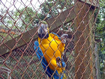 Yellow and blue macaw Royalty Free Stock Photos