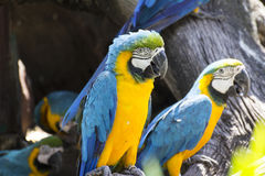 Yellow and blue macaw Royalty Free Stock Photography