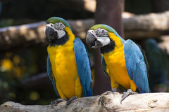 Yellow and blue macaw Stock Photos