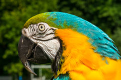Yellow-blue Macaw Parrot Royalty Free Stock Photos