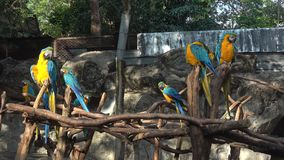 Yellow-blue macaws Ara ararauna, Chiang Mai. Thailand. Yellow-blue macaws Ara ararauna in the Chiang Mai zoo. Thailand stock video footage
