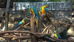 Yellow-blue macaws Ara ararauna. Chiang Mai, Thailand. Yellow-blue macaws Ara ararauna close-up. Chiang Mai, Thailand stock video