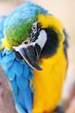 Yellow and blue maccaw. Closeup of a yellow and blue maccaw Royalty Free Stock Photo