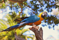 Yellow and blue maccaw. A yellow and blue maccaw sitting on top of a branch Royalty Free Stock Photos