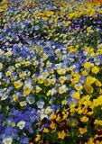 Yellow and blue pansies in the big flower bed Stock Image