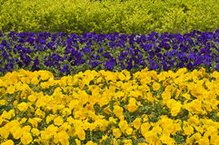 Yellow and blue pansies Royalty Free Stock Photos