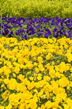 Yellow and blue pansies Stock Images