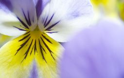 Yellow and Blue Pansy Stock Images
