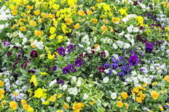 Yellow blue pansy flowers Royalty Free Stock Photo