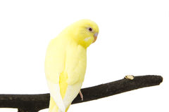 The yellow blue parrot is on a branch Stock Photography