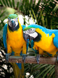 Yellow and blue parrot couple Stock Photo